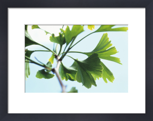 Gingko biloba, Maidenhair tree by Carol Sharp