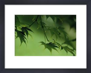 Acer palmatum, Japanese maple by Carol Sharp