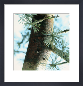 Cedrus atlantica, Atlas cedar by Carol Sharp