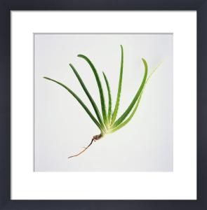 Aloe vera, Aloe vera by Carol Sharp