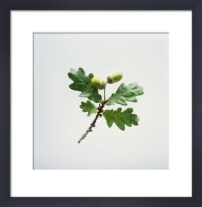 Quercus robur, Oak - Acorn by Carol Sharp