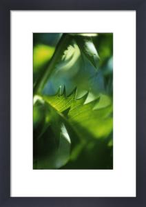 Melianthus major, Honey bush by Carol Sharp