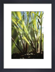 Cymbopogon citratus, Lemon grass by Carol Sharp