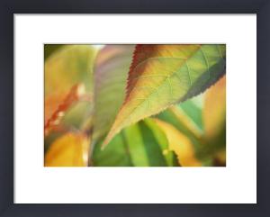 Prunus shirofugen, Cherry by Carol Sharp