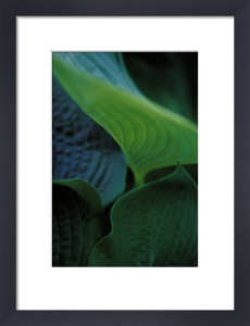 Hosta, Hosta by Carol Sharp