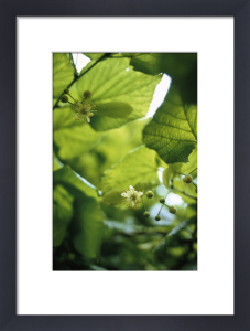 Linden - Lime tree by Carol Sharp