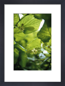 Linden - Lime tree by Carol Sharp