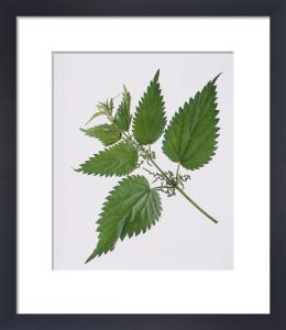 Urtica dioica, Nettle by Carol Sharp