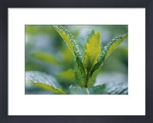 Mentha spicata, Mint - Spearmint by Carol Sharp