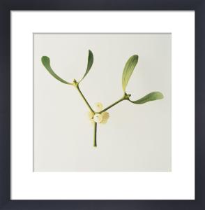 Viscum album, Mistletoe by Carol Sharp