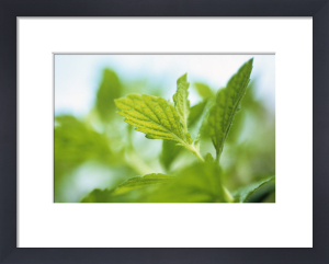 Melissa officinalis, Lemon balm by Carol Sharp