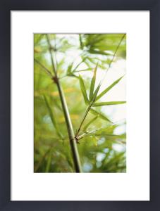 Phyllostachys bambusoides, Bamboo by Carol Sharp