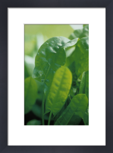 Rumex acetosa, Sorrel by Carol Sharp