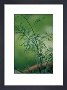 Anethum graveolens, Dill by Carol Sharp