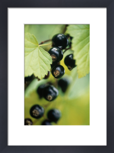 Ribes nigrum, Currant - Blackcurrant by Carol Sharp