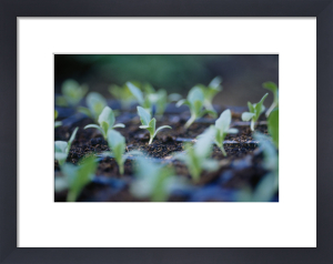 Brassica oleracea, Cabbage by Carol Sharp