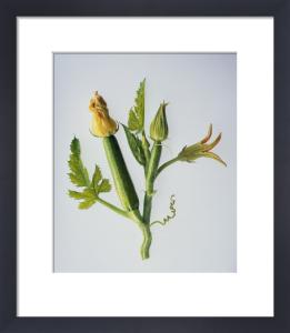 Curcubita pepo, Courgette by Carol Sharp