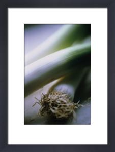Allium ampeloprasum, Leek by Carol Sharp