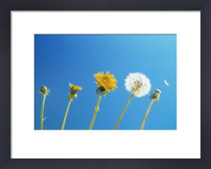 Taraxacum officinale, Dandelion by Carol Sharp