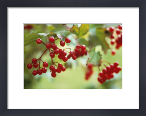 Viburnum opulus, Guelder rose by Carol Sharp