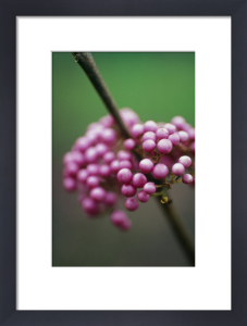 Callicarpa bodinieri, Beauty berry by Carol Sharp