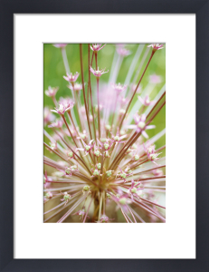Allium schubertii, Allium by Carol Sharp