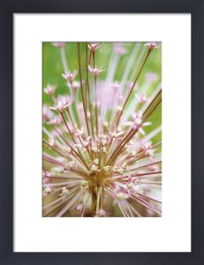 Allium schubertii, Allium by Carol Sharp