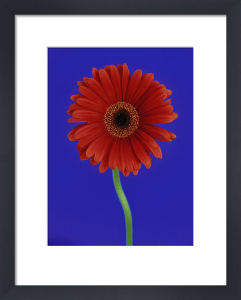 Gerbera, Gerbera by Cunningham -Waterman