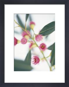 Eucalyptus ficifolia, Eucalyptus by Cunningham -Waterman