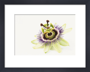 Passiflora caerulea, Passion flower by Cunningham -Waterman