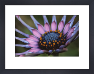 Osteospermum 'Sunny sonsa' by Dave Tully