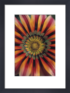Gazania 'Sundance', Treasure flower by Dave Tully