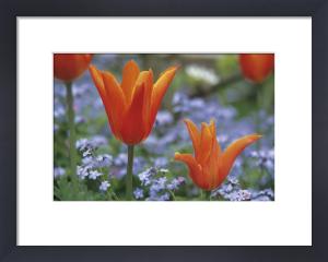Tulipa, Tulip by Dave Tully