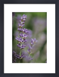 Lavandula augustifolia, Lavender by Dave Tully
