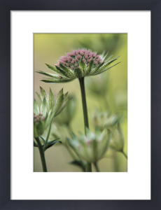 Astrantia major 'Buckland', Astrantia Masterwort by Dave Tully