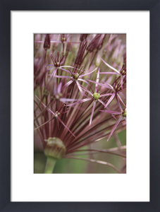 Allium cristophii by Dave Tully