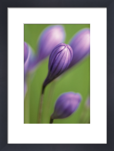 Agapanthus 'Mrs Day' by Dave Tully