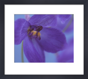 Delphinium by Dave Tully