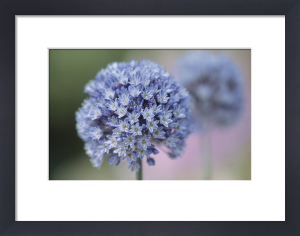 Allium caeruleum by Dave Tully