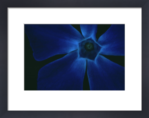Vinca, Periwinkle by Dave Tully