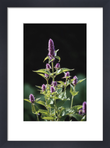 Mentha spicata, Mint - Spearmint by Dave Tully
