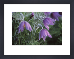 Pulsatilla vulgaris, Pasque flower by Dave Tully
