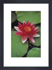 Nymphaea, Water lily by Dave Zubraski