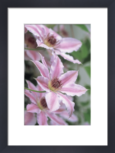 Clematis 'Nelly Moser', Clematis by Dave Zubraski