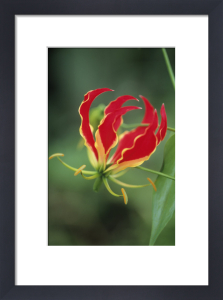 Gloriosa, Gloriosa lily by Dave Zubraski