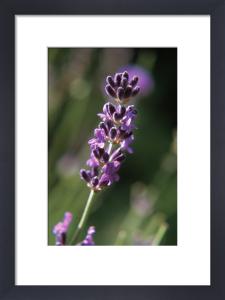 Lavandula augustifolia, Lavender by Ewa Ohlsson