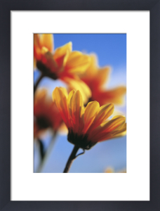 Chrysanthemum, Chrysanthemum by Ewa Ohlsson