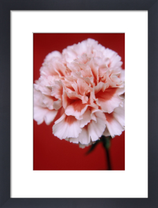 Dianthus, Carnation by Ewa Ohlsson