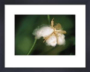 Gossypium, Cotton by Ewa Ohlsson