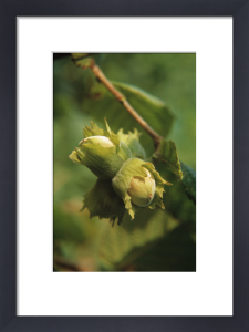 Corylus avellana, Hazel, Cob-nut by Ewa Ohlsson